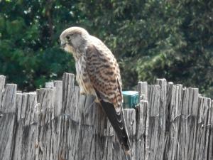 Child Eagle