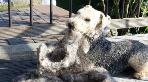 Sheep Bearded dog 1